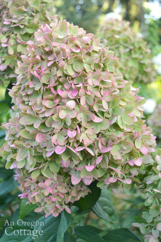 September Little Lime Bloom_mature plant