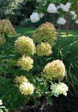 Little lime hydrangea in a small garden bed