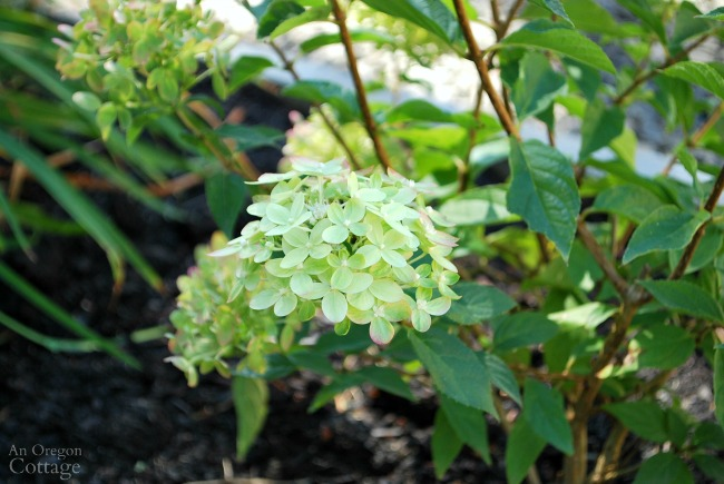 New little lime hydrangea blossom