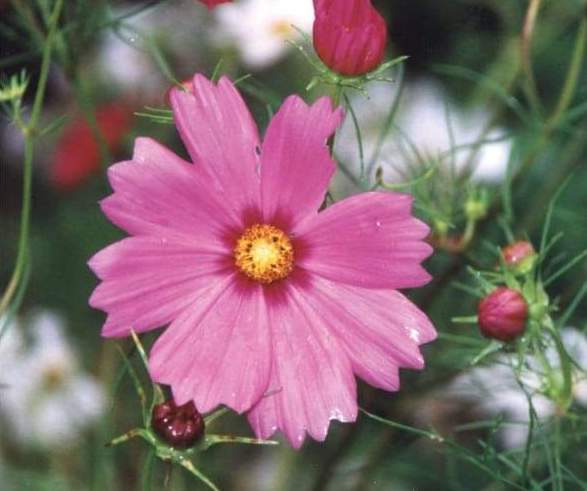cosmos-sensation-mix-flowers