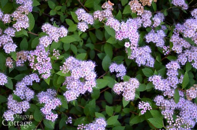 Easy Care Shrubs-Perennials-Spirea
