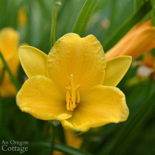 Easy Care Shrubs-Perennials-Stella D'oro daylily