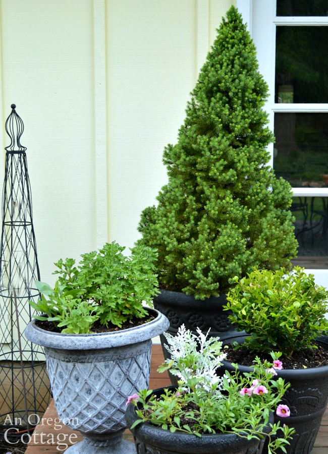 Easy Care Shrubs-Perennials-dwarf alberta spruce container
