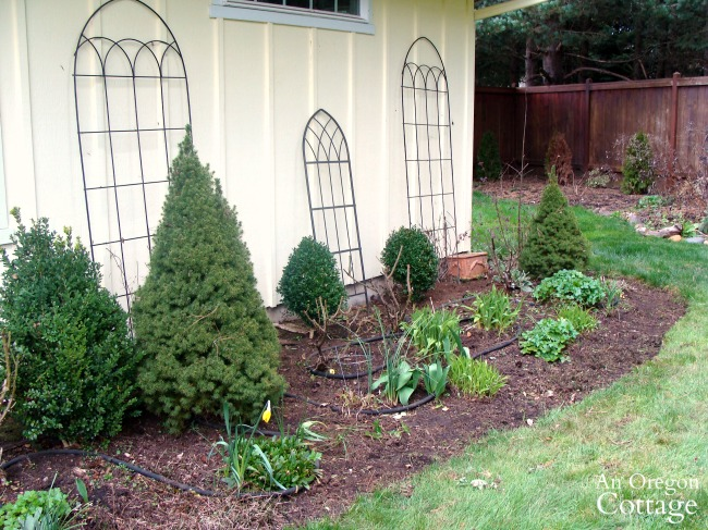 Easy Care Shrubs-Perennials-dwarf alberta spruce