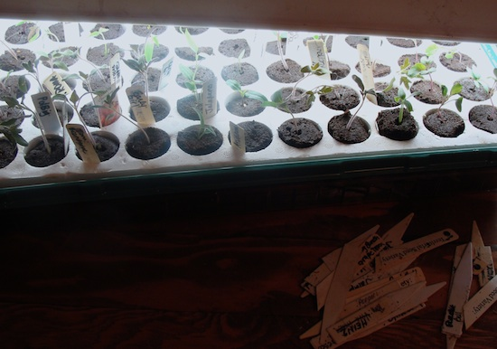 Samson-seedlings