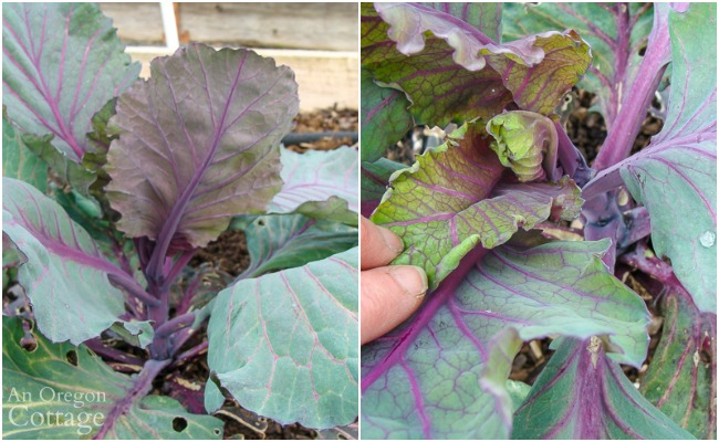 bolting red cabbage