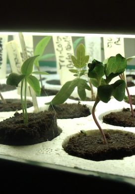 samson-seedling-plants