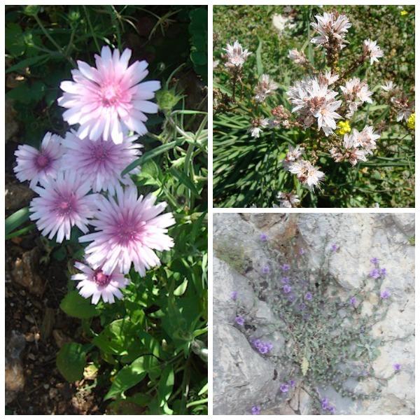 Greek Wildflowers-unknown