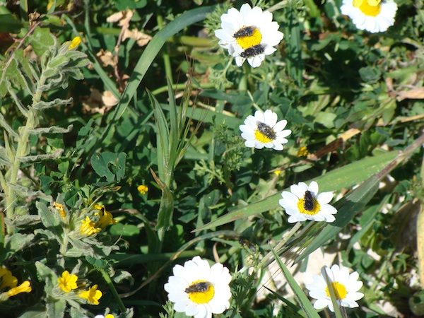 bees on chamomile