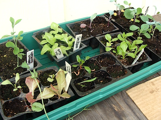 cool weather seedlings 3-13