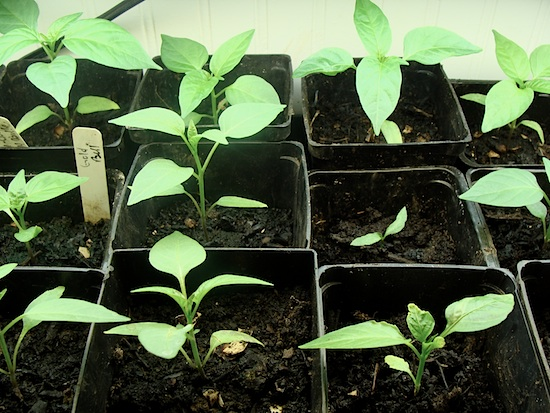 sad pepper seedling