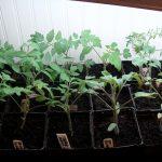 tomato seedlings 4-2-13