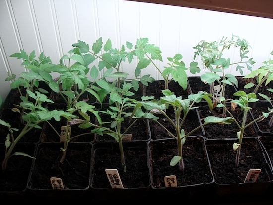 tomato seedlings 4-2-13