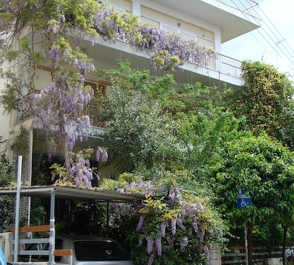 climbing wisteria in Greece