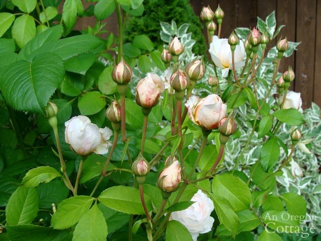 D. Austin windemere rose bush