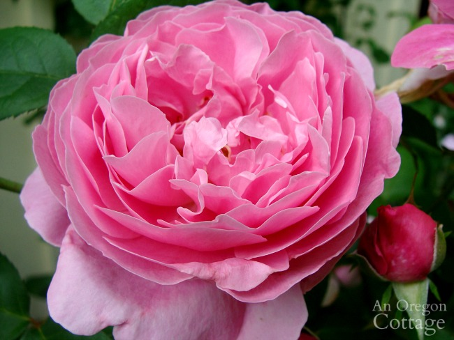 D.Austin Mary rose