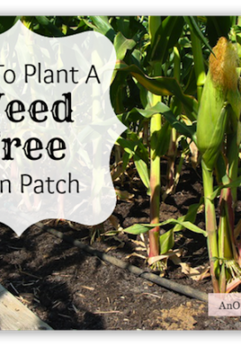 How to Plant Corn-weed free