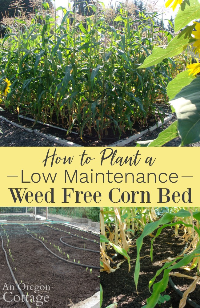 How to plant a low maintenance weed free corn bed