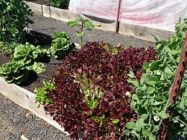 Overgrown lettuce6-13