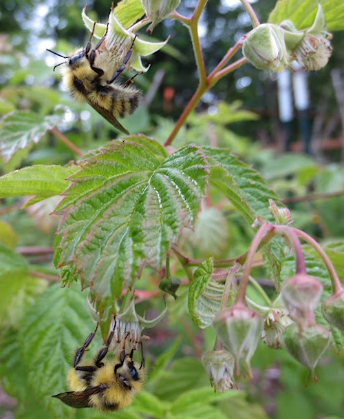 bees on raspberries