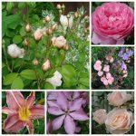 cottage garden blooms.6-13