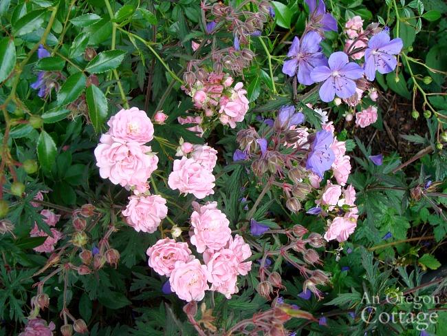 fairy rose-geranium mix