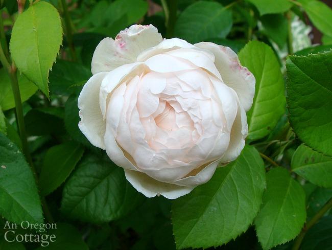 Light pink rose-windermere