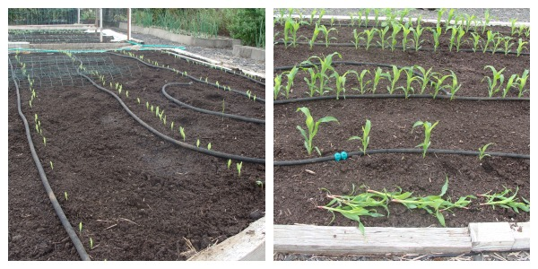sprouting-thinning corn bed