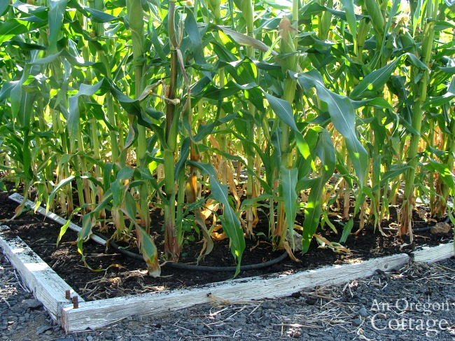 weed free corn bed in September