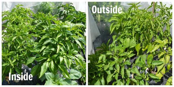 7-13 garden peppers