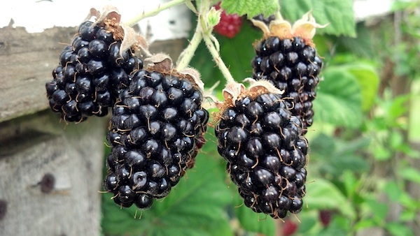 http://www.anoregoncottage.com/wp-content/uploads/2013/07/Homestead-Marionberries.jpg
