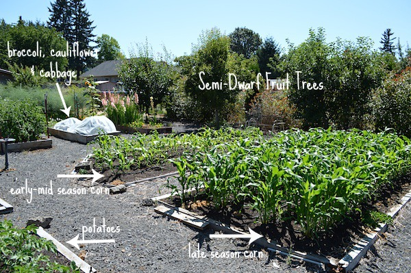 Corn beds & Fruit trees