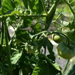 Green tomatoes.7-13