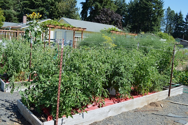 Tomato raised beds.7-13