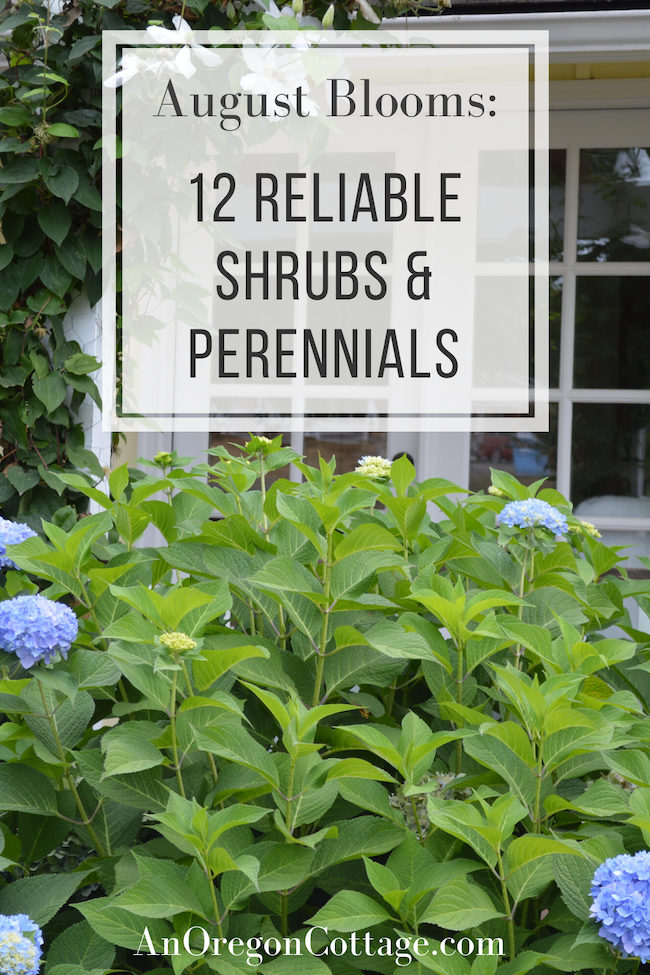 reliable shrubs-perennials for August blooms