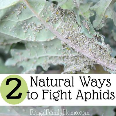 Natural Ways to Fight Aphids via Frugal Family Home