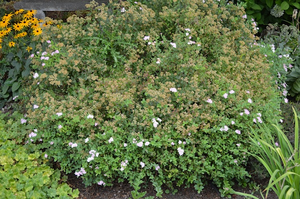 Reblooming Spirea creates August blooms