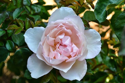 The Generous Gardener Rose