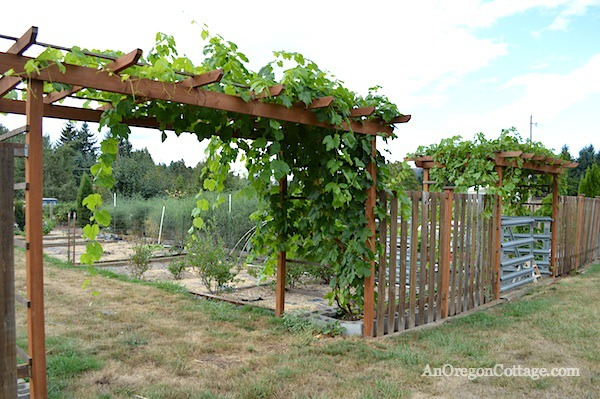 Grape Arbors :: An Oregon Cottage