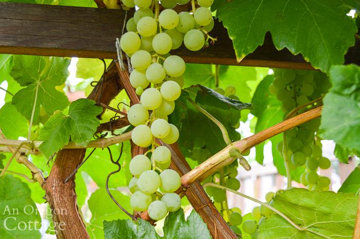 Green Grape Cluster close