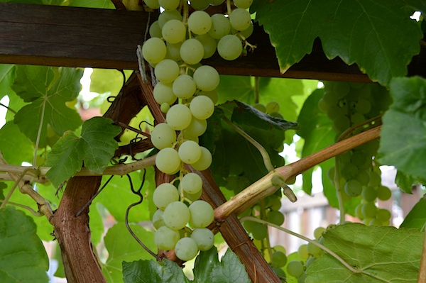 Green Himrod Grape Cluster::An Oregon Cottage