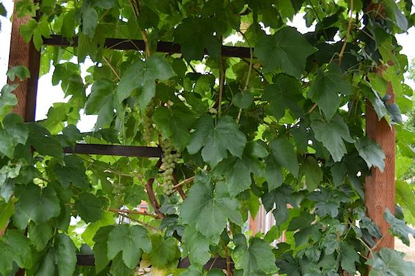 Green Himrod Grapes on Arbor::An Oregon Cottage