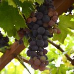 Table Grapes! {TGP}