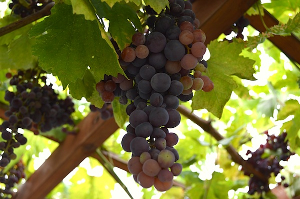 Growing Table Grapes | An Oregon Cottage