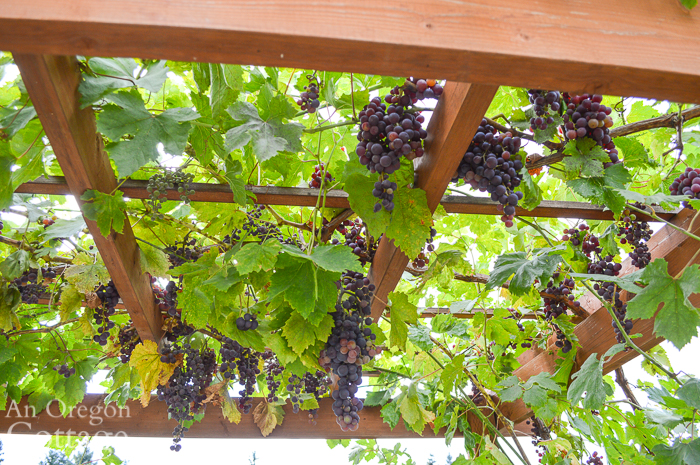 Red Grapes hanging from Arbor