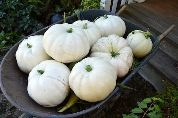 White Pumpkins in Wheelburrow :: AnOregonCottage.com