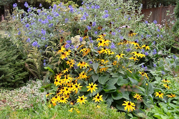Blackeyed Susan and Ceanothus :: AnOregonCottage.com
