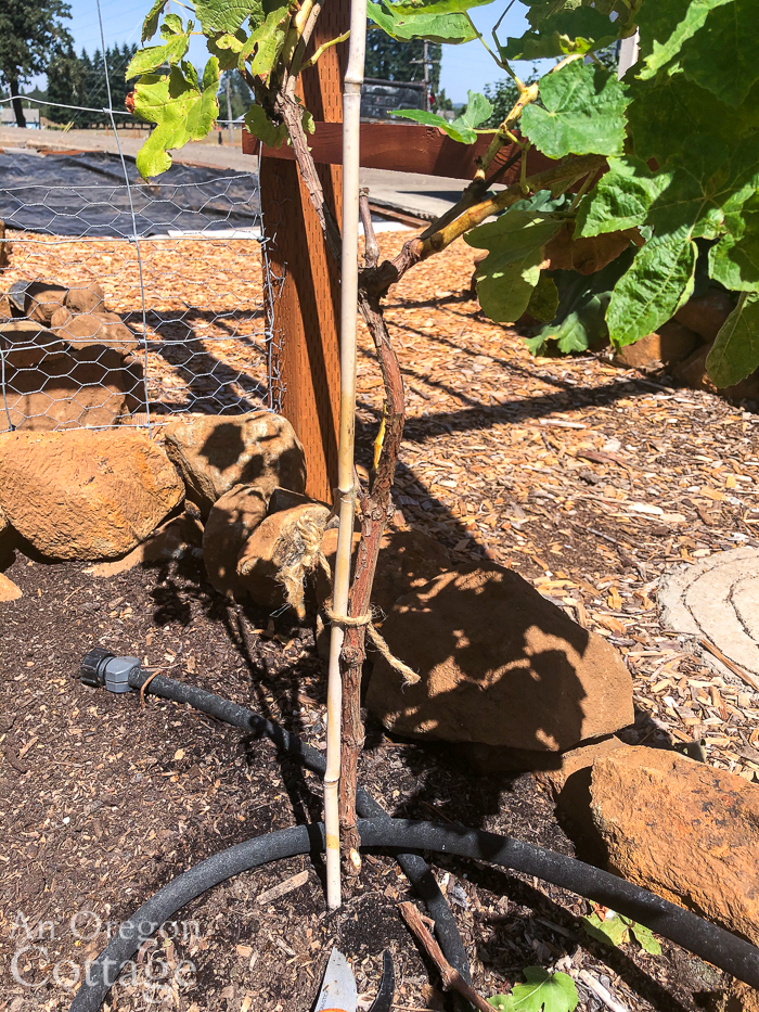first year grape pruned to one trunk