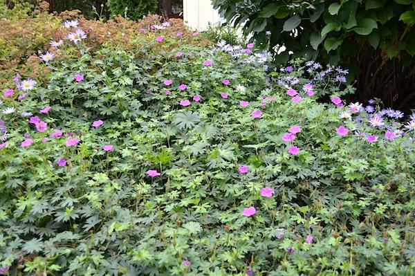 Geranium and purple daisy :: AnOregonCottage.com