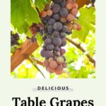 grow delicious table grapes